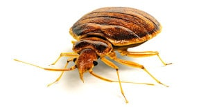 Bed-Bugs-Pest-Control