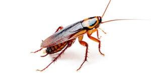 Cockroach-Control-Cockroaches-Exterminator