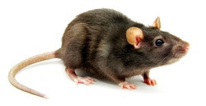 Rat-Exterminator-Medford-Rats-Eugene
