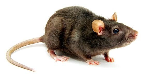 Rodent Exterminator Rat Exterminator Eugene