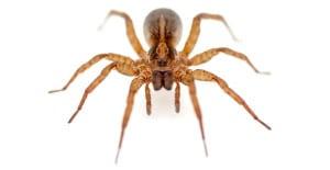 Spider-Exterminator-Spider-Control-Oregon