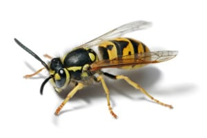 pest-control-wasps