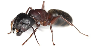 Pest Control Carpenter Ants