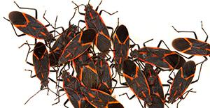 Pest Control Boxelder Bugs