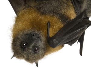 Pest Control Bats