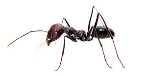 Pest Control Small Ants