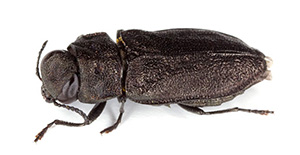 Pest Control Wood Beetles