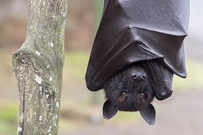 Flying fox hanging from a branch