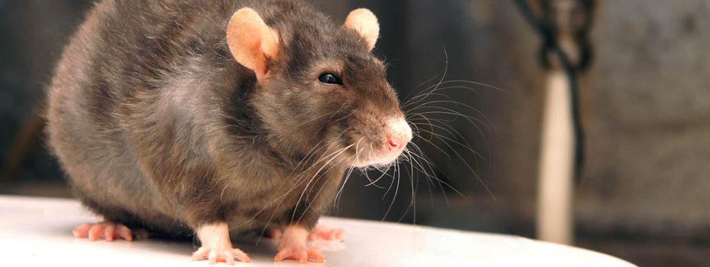 Rat Problem 01