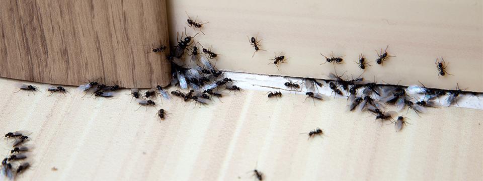 Ant Pest Control in Oregon